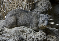 Rock hyrax 3 Stock Photography