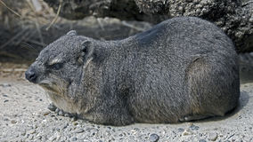 Rock hyrax 7 Royalty Free Stock Images