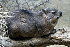 Rock hyrax 9 Stock Images