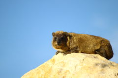 Free Rock Hyrax (procavia Capensis) Royalty Free Stock Photo - 16674825