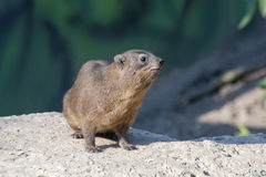 Rock hyrax Royalty Free Stock Photo