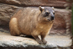 Rock hyrax (Procavia capensis). Royalty Free Stock Photography