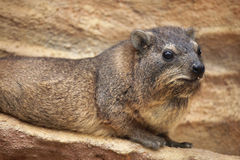 Rock hyrax (Procavia capensis). Stock Images
