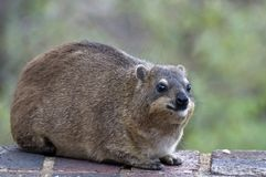 Rock hyrax (Procavia capensis) Royalty Free Stock Photo