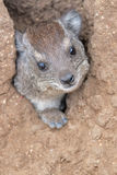 Rock Hyrax. The rock hyrax (Procavia capensis) or rock badger, also called the Cape hyrax,is small, thickset, herbivorous mammals in the order Hyracoidea. This Stock Photo