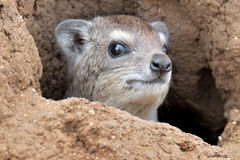 Rock Hyrax. The rock hyrax (Procavia capensis) or rock badger, also called the Cape hyrax,is small, thickset, herbivorous mammals in the order Hyracoidea. This Stock Image
