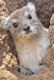 Rock Hyrax. The rock hyrax (Procavia capensis) or rock badger, also called the Cape hyrax,is small, thickset, herbivorous mammals in the order Hyracoidea. This Stock Images
