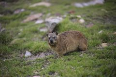 Rock hyrax Procavia capensis stock images