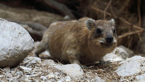 Rock hyrax, Procavia capensis, in Ein Gedi nature reserve, Israel Royalty Free Stock Photos