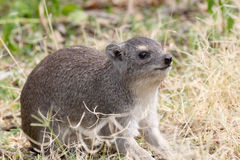 Rock hyrax, Procavia capensis in Tanzania Stock Images