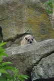 Rock Hyrax - Procavia capensis Royalty Free Stock Image