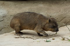Rock Hyrax - Procavia capensis Stock Photo