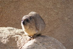 Rock Hyrax - Procavia capensis Royalty Free Stock Photo