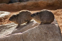 Rock Hyrax - Procavia capensis Royalty Free Stock Photos