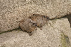 Rock Hyrax - Procavia capensis Royalty Free Stock Images