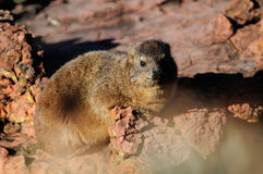 Rock hyrax, rock dassie sit on a rock, waterberg, namibia Stock Image