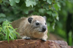Rock Hyrax in Serengeti Royalty Free Stock Photo