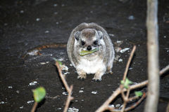 A rock hyrax Stock Photos
