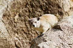 Rock hyrax. Sitting on rock in Africa Royalty Free Stock Photos