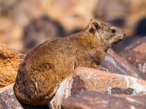 Rock hyrax sitting onthe stone Stock Photos