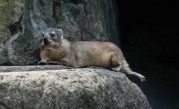 Rock Hyrax sitting on the rock Stock Image