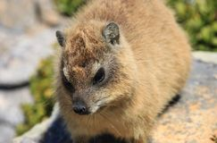 Rock Hyrax is sitting on the stone. Stock Image