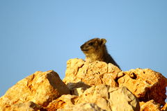 Rock Hyrax sneak peak Royalty Free Stock Image