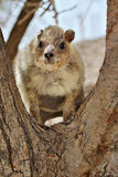 Rock Hyrax standing Royalty Free Stock Photo