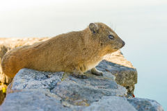 Rock Hyrax on Table Mountain Cape Town South Africa Royalty Free Stock Photos