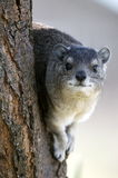 Rock Hyrax. A rock hyrax takes up position on a vintage point to look out for predators Stock Photography