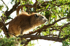 Rock hyrax up in a tree Royalty Free Stock Images