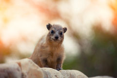 Rock hyrax Stock Photo