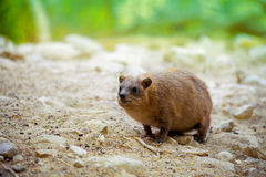 Rock hyrax Royalty Free Stock Photos