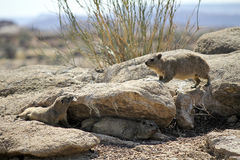 Rock hyrax walking on the rock Stock Images
