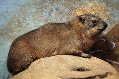 Rock hyrax (Procavia capensis). Stock Photography
