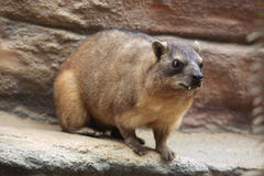 Rock hyrax & x28;Procavia capensis& x29;. Royalty Free Stock Images