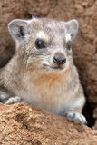 Rock Hyrax Royalty Free Stock Image