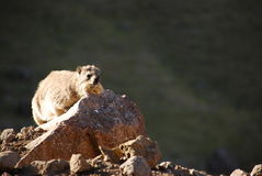 Rock hyraxes basking in the sun Stock Image