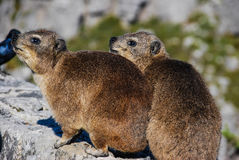 Rock hyraxes basking in the sun Royalty Free Stock Photos