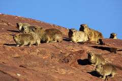 Rock hyraxes sunbathing in early morning Stock Image