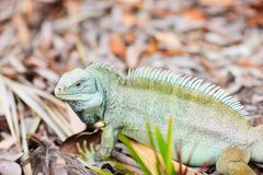 Rock iguana at Little Water Cay Stock Images