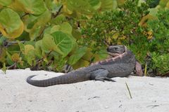 Rock Iguana. royalty free stock photography