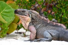 Rock Iguana. Normans Pond Cay. Exumas. Bahamas stock photos