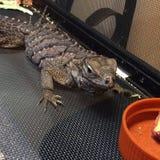 Rock Iguana royalty free stock photography