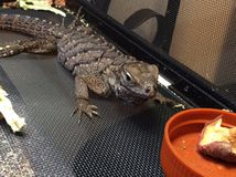 Rock Iguana royalty free stock photos