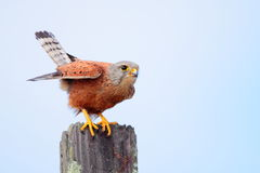 Rock Kestrel Stock Photos