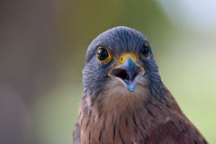 Rock Kestrel Royalty Free Stock Photos