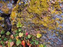 Rock, Lichen, Leaves. Close shot of lichen, across the coarse rough surface of the the rocks. Little green and red leaves, creeping up the side of the stone stock image