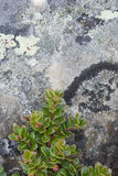 Rock with lichen and tundra plant. Rock with lichen and Northern blueberry shrub, Norway Royalty Free Stock Image