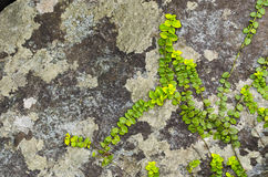 Rock with Lichen and Vine Royalty Free Stock Image
